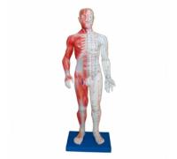 Модель для акупунктуры - Человек (60см)